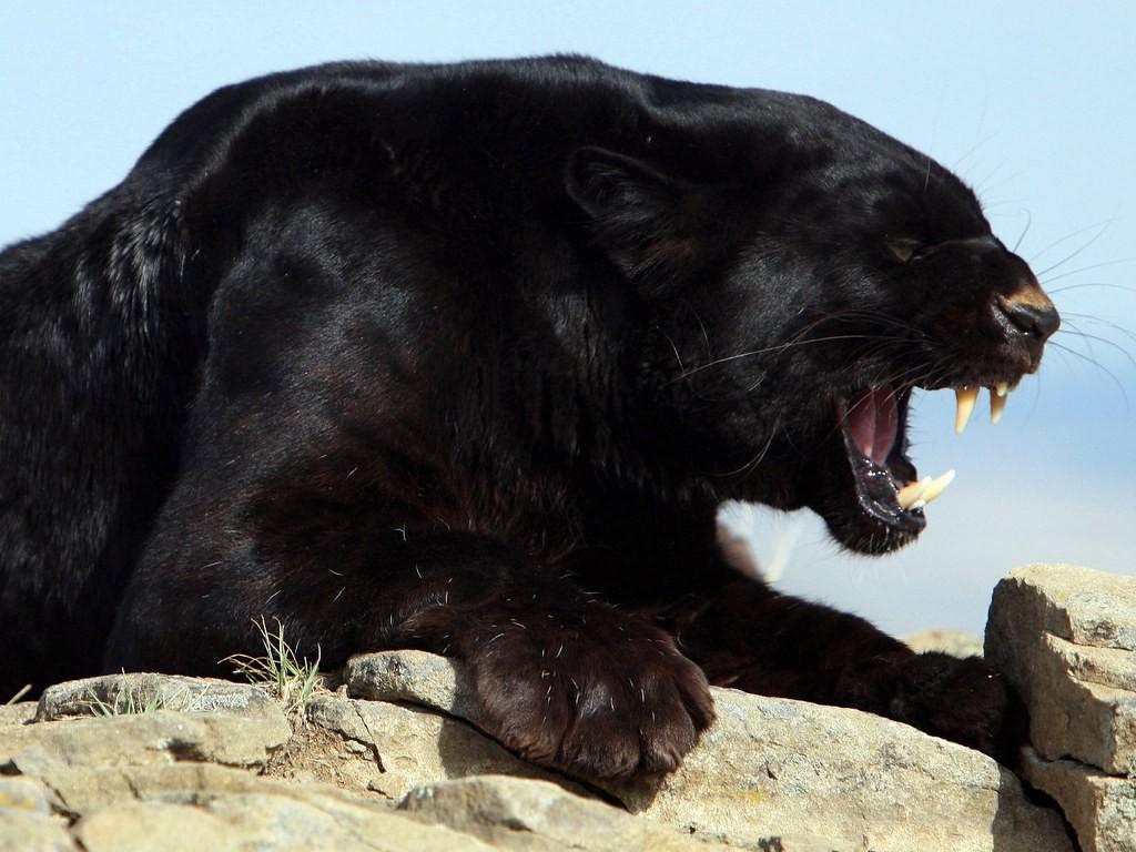 Значение тату пантера1